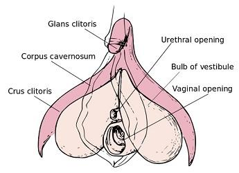 De clitoris. Bron: www.vochtigezwelling.blogspot.com